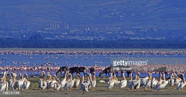Abundance of wildlife in East Africa's Rift Valley an assemblage of great white pelicans waterbuck lesser flamingos and greater flamingos Pelicanus...