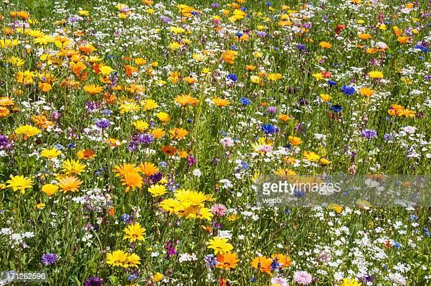 ricco di fiore colorato prato primavera estate - bocciolo foto e immagini stock