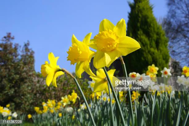 abundant daffodils in an english domestic garden. - springtime stock pictures, royalty-free photos & images