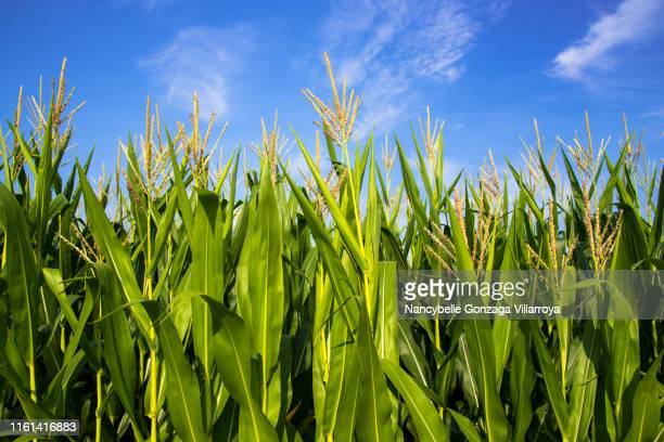 abundant growing corn plants in a cornfield. - tassel stock pictures, royalty-free photos & images