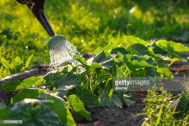 abundant watering of zucchini growing in rows from a spray can. caring for vegetables in the garden or on the farm - watering stock pictures, royalty-free photos & images