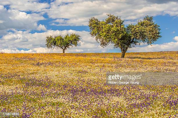 abundant wildflowers and cork oaks - cork tree stock photos and pictures