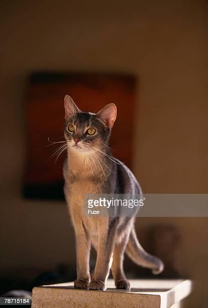 Abyssinian Blue Cat on Pedestal