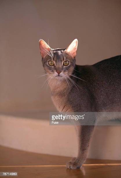 Abyssinian Blue Cat on Step