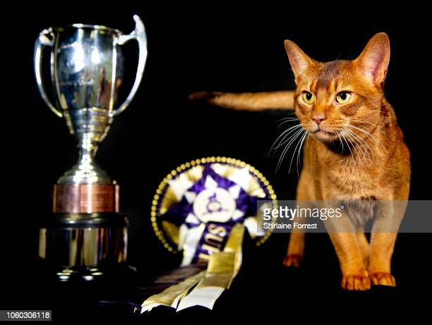Abyssinian cat Javier earns second place for Supreme Cat 2018 in the GCCF Supreme Show at NEC Arena on October 27, 2018 in Birmingham, England.