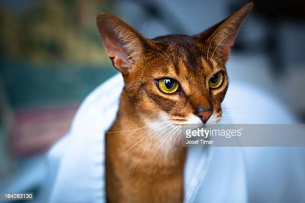 Abyssinian Cat New Zealand
