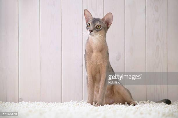 Abyssinian cat sitting