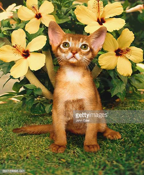 Abyssinian cat  with hibiscus flowers in background