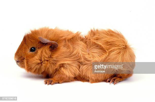 Abyssinian guinea pig Cavia porcellus a variety with many rosettes