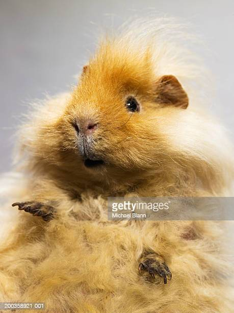 Abyssinian guinea pig, close-up