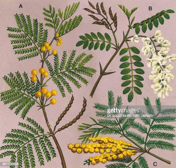 Acacia arabica a locust b mimosa c drawing