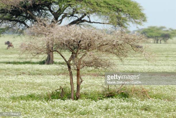 acacia bush in serengeti national park - marek stefunko stock pictures, royalty-free photos & images