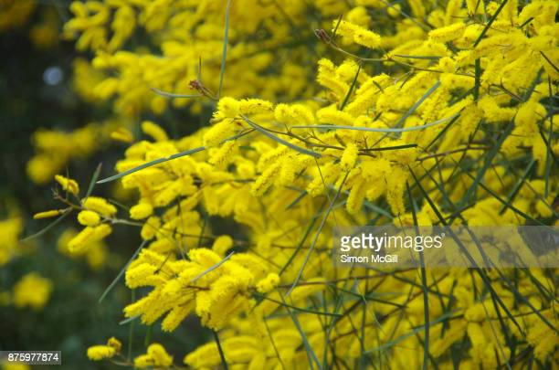 Acacia cognata, commonly known as the Bower or River Wattle, in bloom