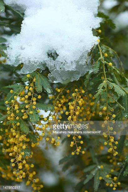 acacia dealbata - mimose foto e immagini stock