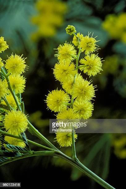 acacia dealbata (silver wattle, blue wattle, mimosa) - mimosa fiore foto e immagini stock