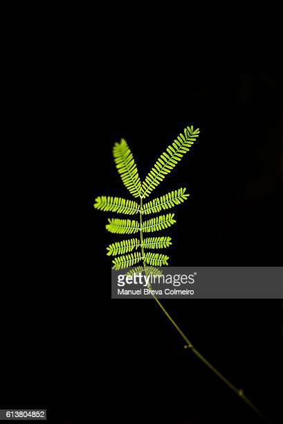 acacia mimosae - mimose foto e immagini stock