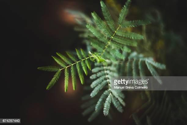 Acacia Mimosae