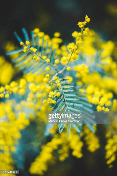 acacia mimosae - mimosa stock pictures, royalty-free photos & images