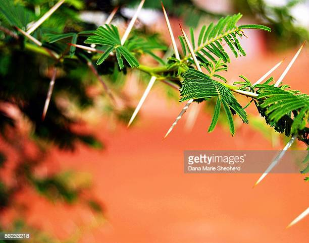 acacia - mimosa stock pictures, royalty-free photos & images