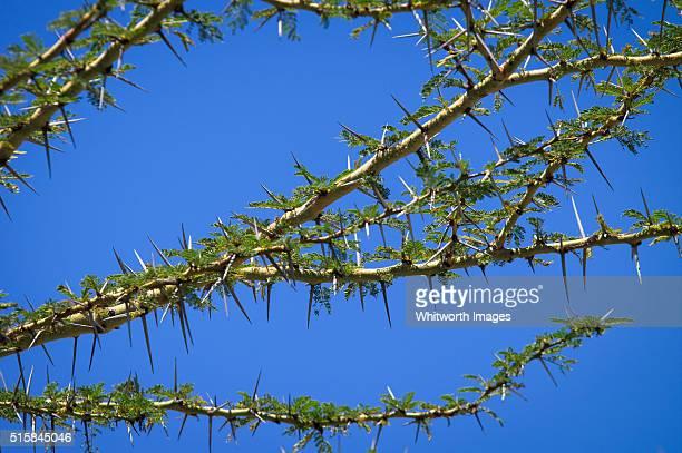 Acacia thorns detail against blue sky, Tanzania