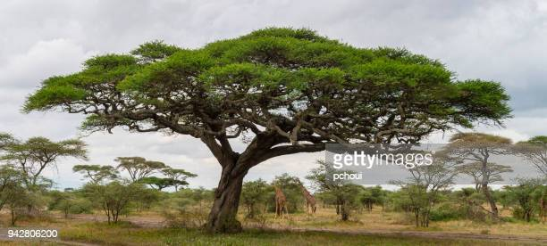 acacia tree and giraffes, landscape in africa - mimosa stock pictures, royalty-free photos & images