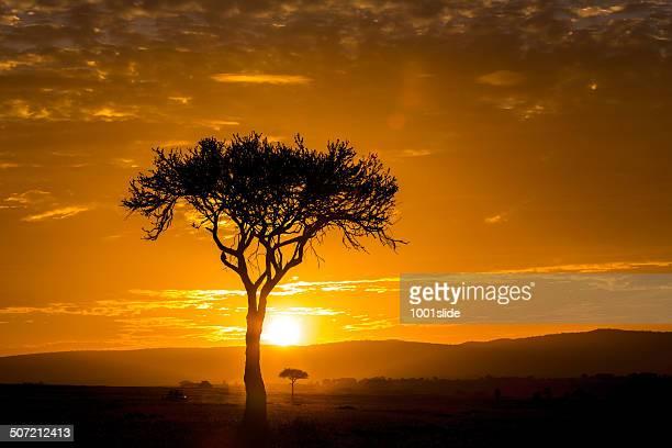 Acacia tree at Dramatic Sunrise in Masai mara - backlit