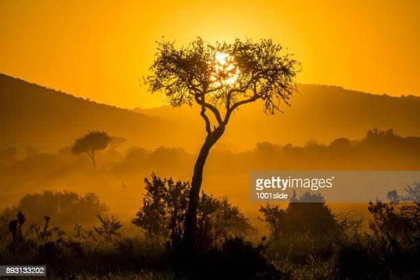 マサイマラ国立保護区で劇的な日の出のアカシアの木