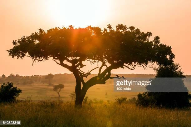 Acacia tree at Dramatic Sunrise