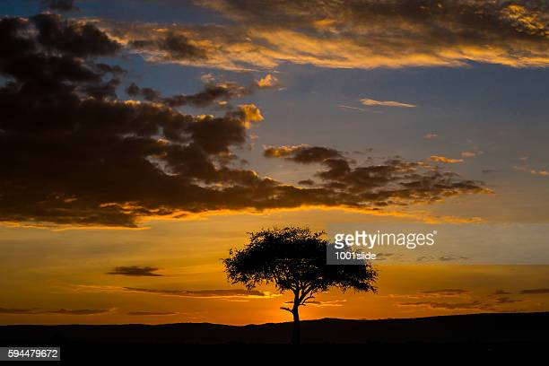 acacia tree at sunrise - acacia tree stock photos and pictures