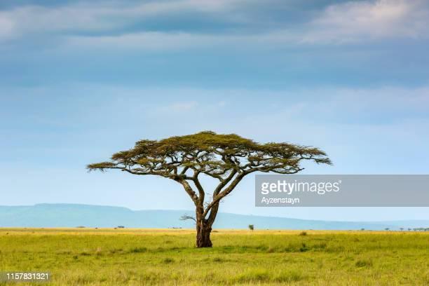 acacia tree at wild - savannah stock pictures, royalty-free photos & images