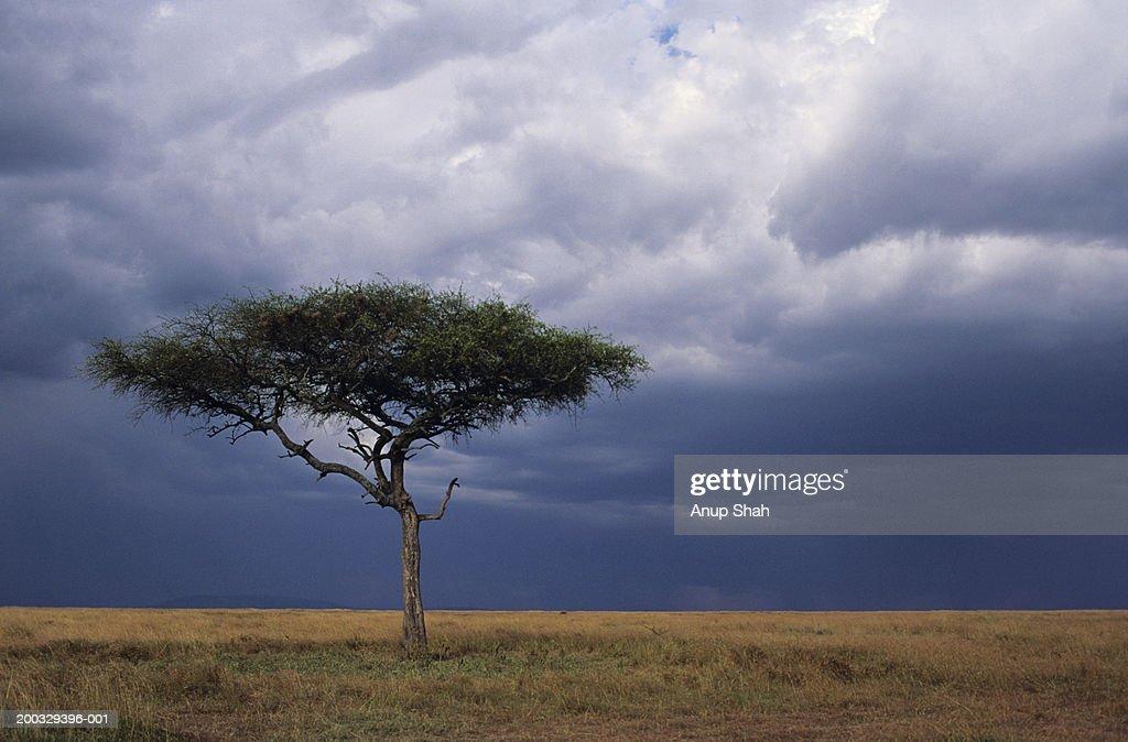 Acacia tree growing on savannah against sky background, Masai Mara National Reserve, Kenya : Stock Photo