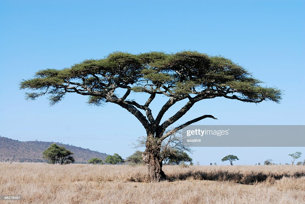 60 Top Acacia Tree Pictures Photos Images Getty Images
