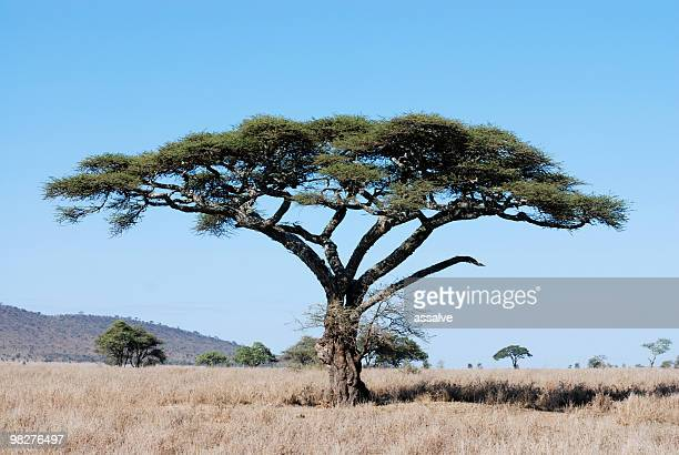 acacia tree in serengeti national park, tanzania, east africa - mimosa stock pictures, royalty-free photos & images