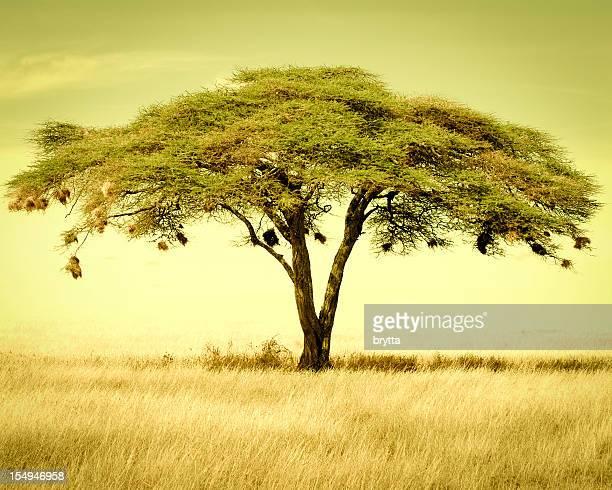 Acacia tree in the dry season, Serengeti National Park,Tanzania