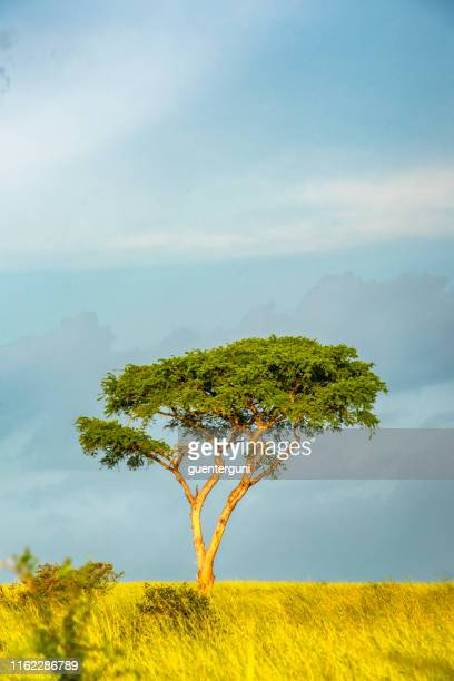 acacia tree in the savannah of east africa - mimosa stock pictures, royalty-free photos & images