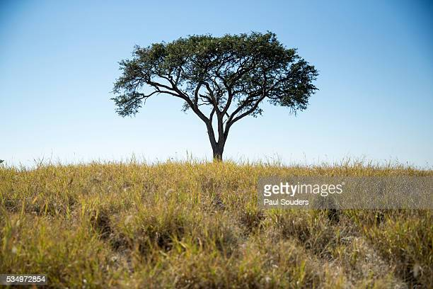 Acacia Tree, Makgadikgadi Pan, Botswana