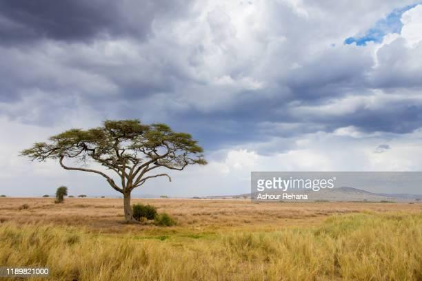 acacia tree on the serengeti - savannah stock pictures, royalty-free photos & images