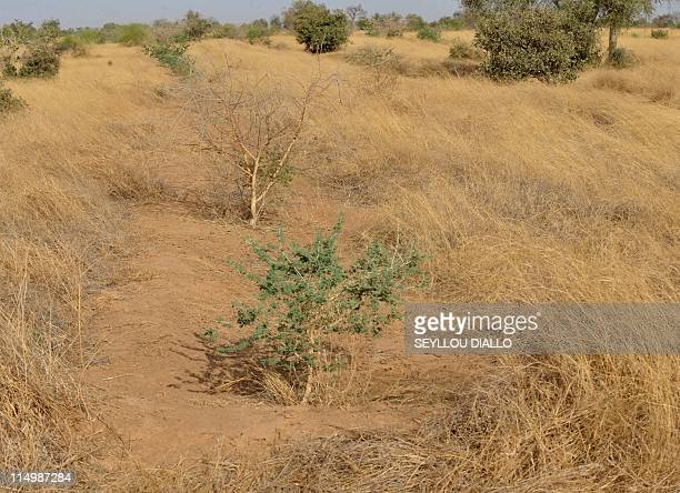 BARBIER Acacia trees are pictured on May 23 2011 in Senegal's Louga region part of the Great Green Wall a lush 15km wide strip of different plant...