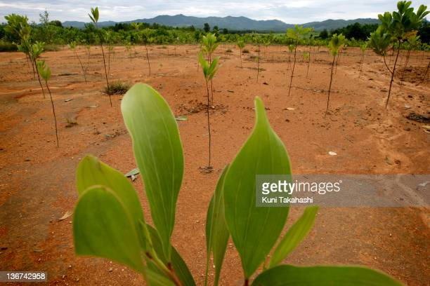 Acacia trees are planted in a new plantation on June 28 2009 in A Luoi Valley in Central Viet NamThe valley was one of the areas heavily exposed to...