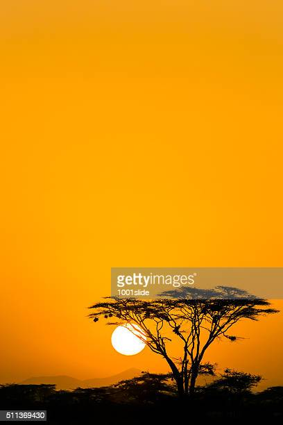 acacia trees at dramatic sunrise - acacia tree stock photos and pictures