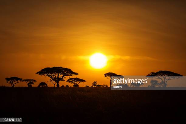 acacia trees at sunrise with beatiful red sky in background. national park of serengeti tanzania. - savannah stock photos and pictures