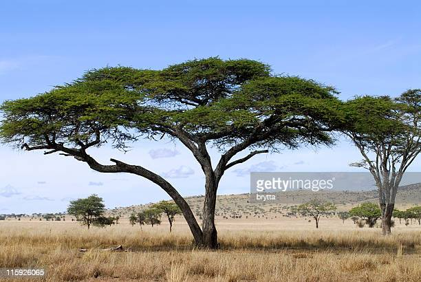 acacia trees in savannah of serenget national park,tanzania - mimosa stock pictures, royalty-free photos & images