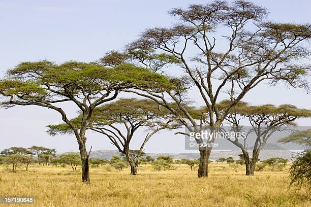 acacia trees on the serengeti plains low horizon during summer - acacia tree stock photos and pictures