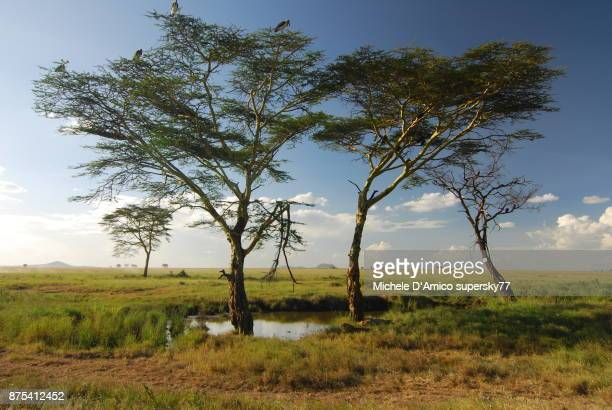 Acacia trees with marabou storks in Serengeti National Park