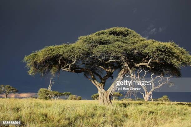acacia woodland