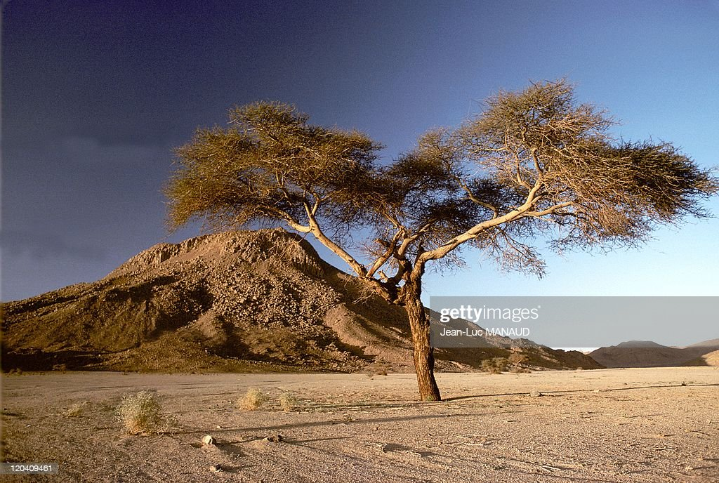 Acacias, Landscape Of Hoggar, Sahara In Algeria - : News Photo