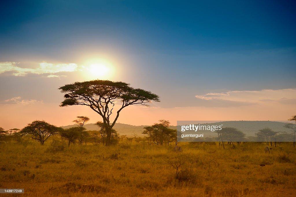 Acacias en la tarde, Serengeti, África luz : Foto de stock