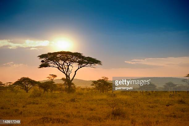 acacias trees in the sunset in serengeti, africa - afrika stockfoto's en -beelden