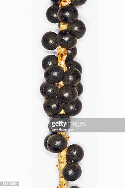 Acai berries on stem