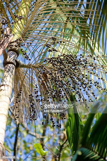 Acai Berries on Tree